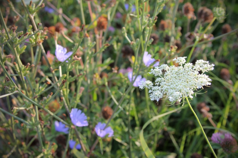 Queen Anne's Lace & Bachelor's Buttons
